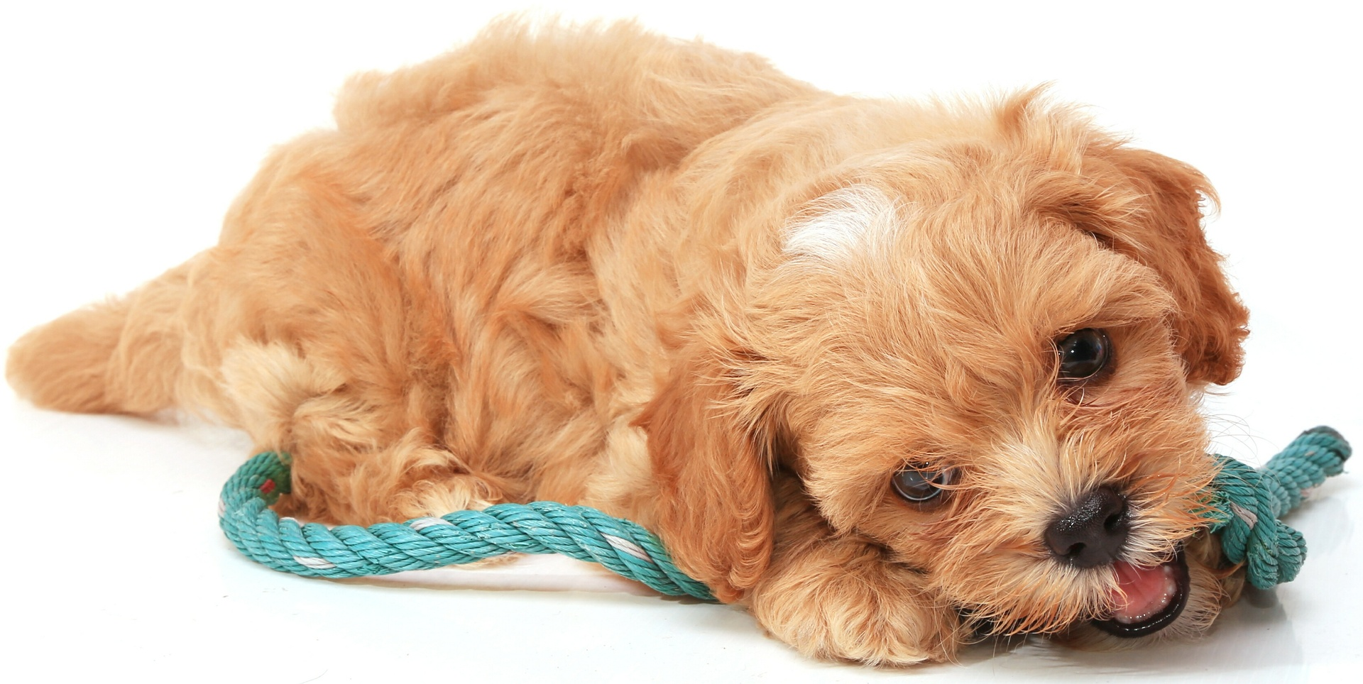 Cavoodle puppyimage